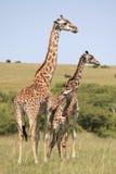 Giraffes. Wild giraffes in Masai Mara national park Royalty Free Stock Image