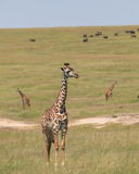 Giraffes. Wild giraffes in Masai Mara national park Stock Photo