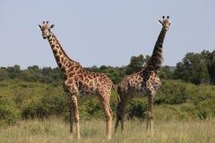Giraffes. Wild giraffes in Masai Mara national park Royalty Free Stock Photography