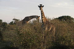 Giraffes in the wild Stock Images
