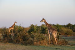 Giraffes in the wild Royalty Free Stock Images