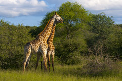 Giraffes in the wilderness in Africa Royalty Free Stock Photography