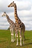 Giraffes in wildlife royalty free stock photo