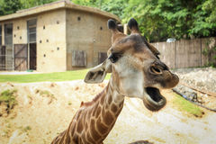 Giraffes wildlife animals. Royalty Free Stock Photography