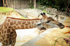 Giraffes wildlife animals. Visitor is feeding a giraffe Stock Image