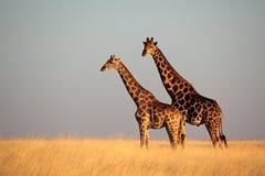 Giraffes in yellow grassland Stock Photos