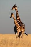 Giraffes in yellow savanna Royalty Free Stock Photo