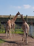 Giraffes at Yorkshire Wildlife Park Stock Photos