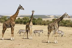 Giraffes and Zebras. Three girsffes tower over three zebras in the background royalty free stock images