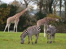 Giraffes and zebras royalty free stock photos