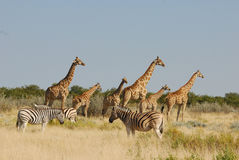 Giraffes and Zebras in Etosha Stock Photography