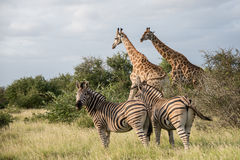 Giraffes and Zebras. A group of African animals on the Savannah Royalty Free Stock Images