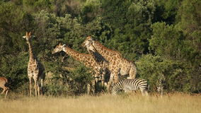 Giraffes and zebras in natural habitat stock video