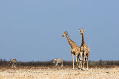 Giraffes and zebras Stock Images