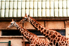 Giraffes in a zoo royalty free stock photography