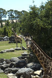Giraffes at the Zoo. Two Giraffes at the Zoo with rocks and vegetation Stock Photo