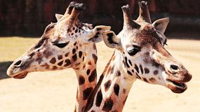 Giraffes in zoo Stock Photography