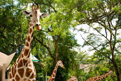 Giraffes in Zoo. Several giraffes in zoo captivity Royalty Free Stock Image