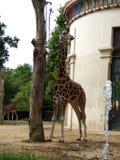 Giraffe in zoo stock images