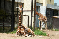 Giraffes in zoo Royalty Free Stock Photos