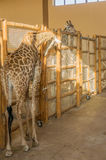 Giraffes Zoo Royalty Free Stock Images