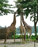 Giraffes in the zoo Stock Images