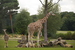 Giraffes. At a Zoo in Germany Stock Images