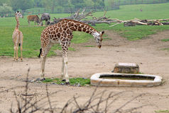 Giraffes in a Zoo. Giraffe near watering place in a Zoo Royalty Free Stock Photos