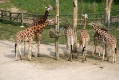 Giraffes in a Zoo. Near a place for feeding Stock Images