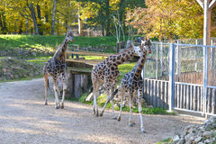 Giraffes in the zoo Royalty Free Stock Images