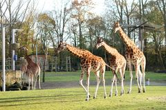 Giraffes in the zoo Royalty Free Stock Photos
