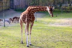 Giraffes in the zoo Stock Photos