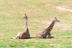 Giraffes in the zoo. Prague - Czech Republic. Royalty Free Stock Image