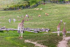 Giraffes in the zoo safari park Royalty Free Stock Photos