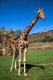 Giraffes in the zoo safari park Stock Image