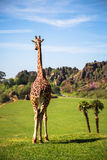 Giraffes in the zoo safari park Stock Photo