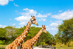 Giraffes in the zoo safari park. Beautiful wildlife animals Stock Images