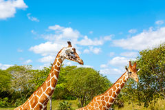Giraffes in the zoo safari park. Beautiful wildlife animals Royalty Free Stock Photos