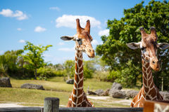 Giraffes in the zoo safari park. Beautiful wildlife animals Royalty Free Stock Images