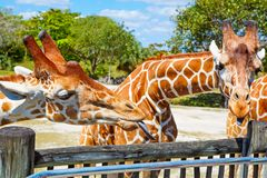 Giraffes in the zoo safari park. Beautiful wildlife animals. On sunny warm day Stock Photos
