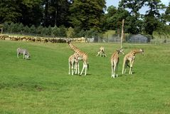 Giraffes in a zoo, safari, or a safari park Stock Image