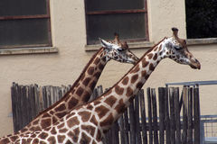 Giraffes at the zoo Stock Images