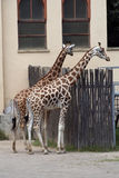 Giraffes at the zoo Stock Photos