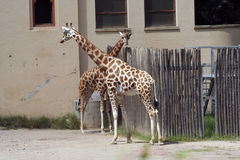 Giraffes at the zoo Royalty Free Stock Images