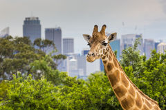 Giraffes at Zoo with a view of the skyline of Sydney in the back. Ground Royalty Free Stock Photos