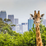 Giraffes at Zoo with a view of the skyline of Sydney in the back. Ground Royalty Free Stock Image