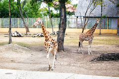 Giraffes in Zoo. Royalty Free Stock Photography