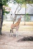 Giraffes in zoo. Stock Photos