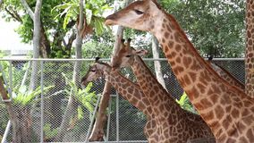 Giraffes in zoological garden stock video