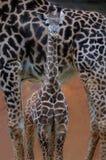 Giraffeschätzchen Stockfoto